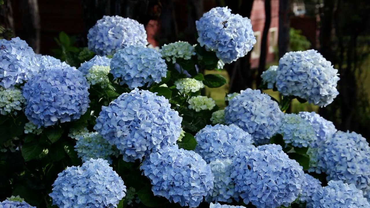 How to change your hydrangea color blue pink white hydrangeas how to change your hydrangea color blue pink white hydrangeas southern living izmirmasajfo Images