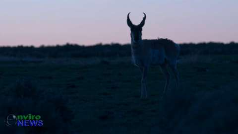 Rare Wildlife Footage: Bull Antelope Strolls Through Sage Grouse Lek During 'Ritual Mating Dance'